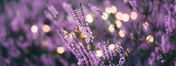 Lavender Banner